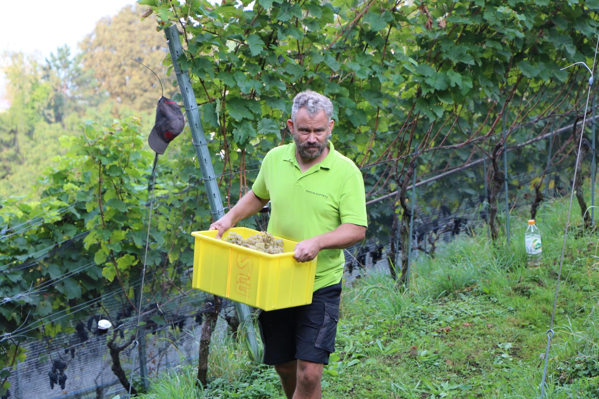 Bei der Wümmet trägt ein Mann im Rebberg eine volle Kiste mit weissen Trauben.