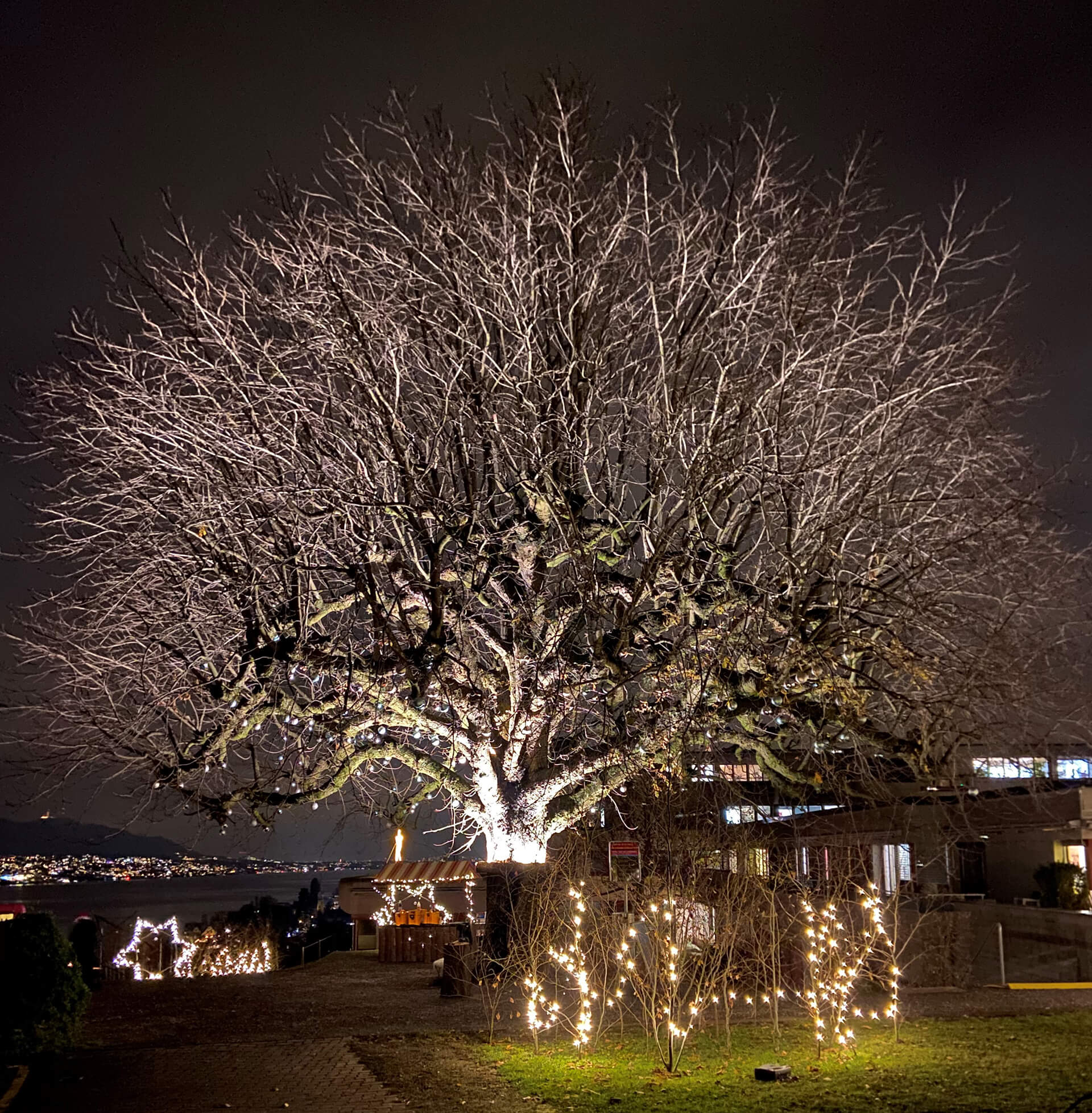 Der Kastanienbaum bei der Martin Stiftung wird in der Adventszeit festlich beleuchtet.