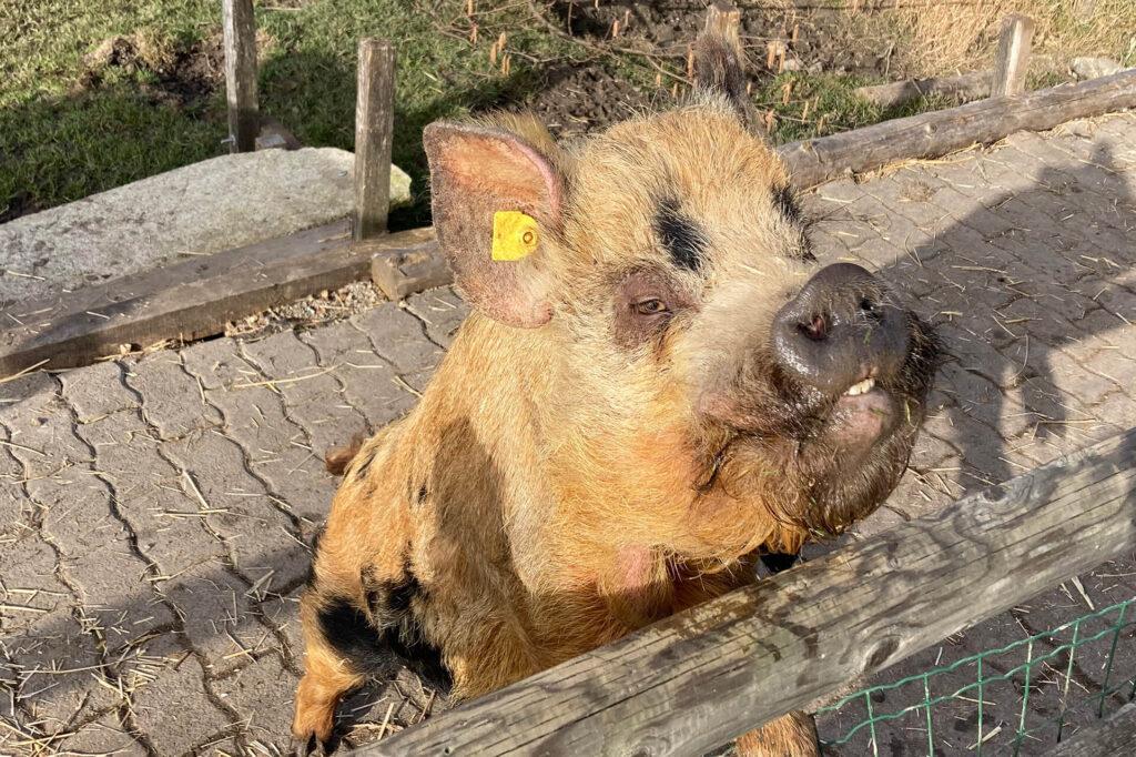 Kunekune-Schwein auf dem Biohof.