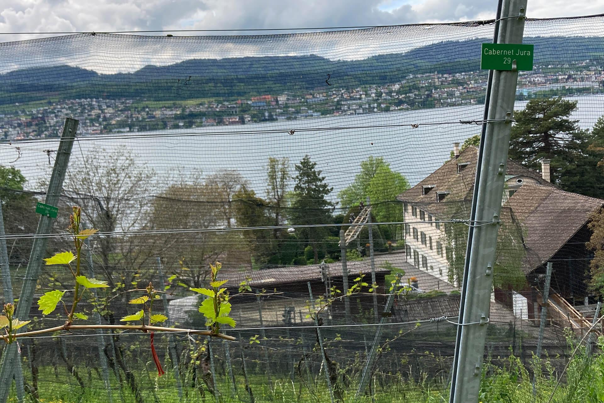 Piwi-Rebsorte Cabernet Jura wächst im Rebberg der Martin Stiftung.