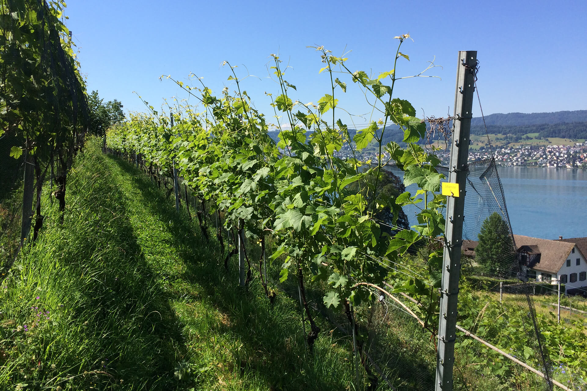 Johanniter ist eine bekannte Rebsorte für den Piwi-Wein.