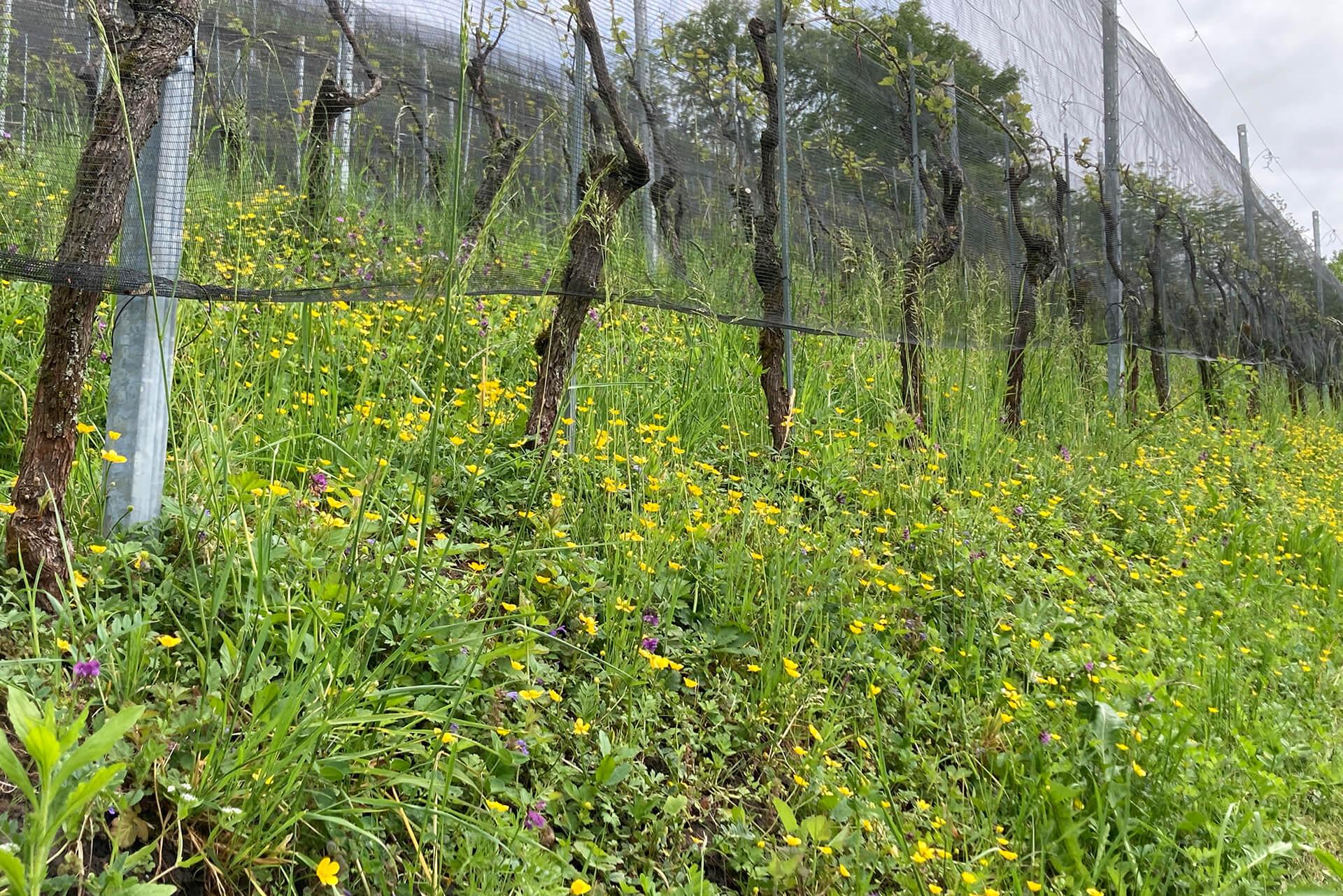 Bio-Rebberg der Martin Stiftung im Frühling mit vielen Blumen.