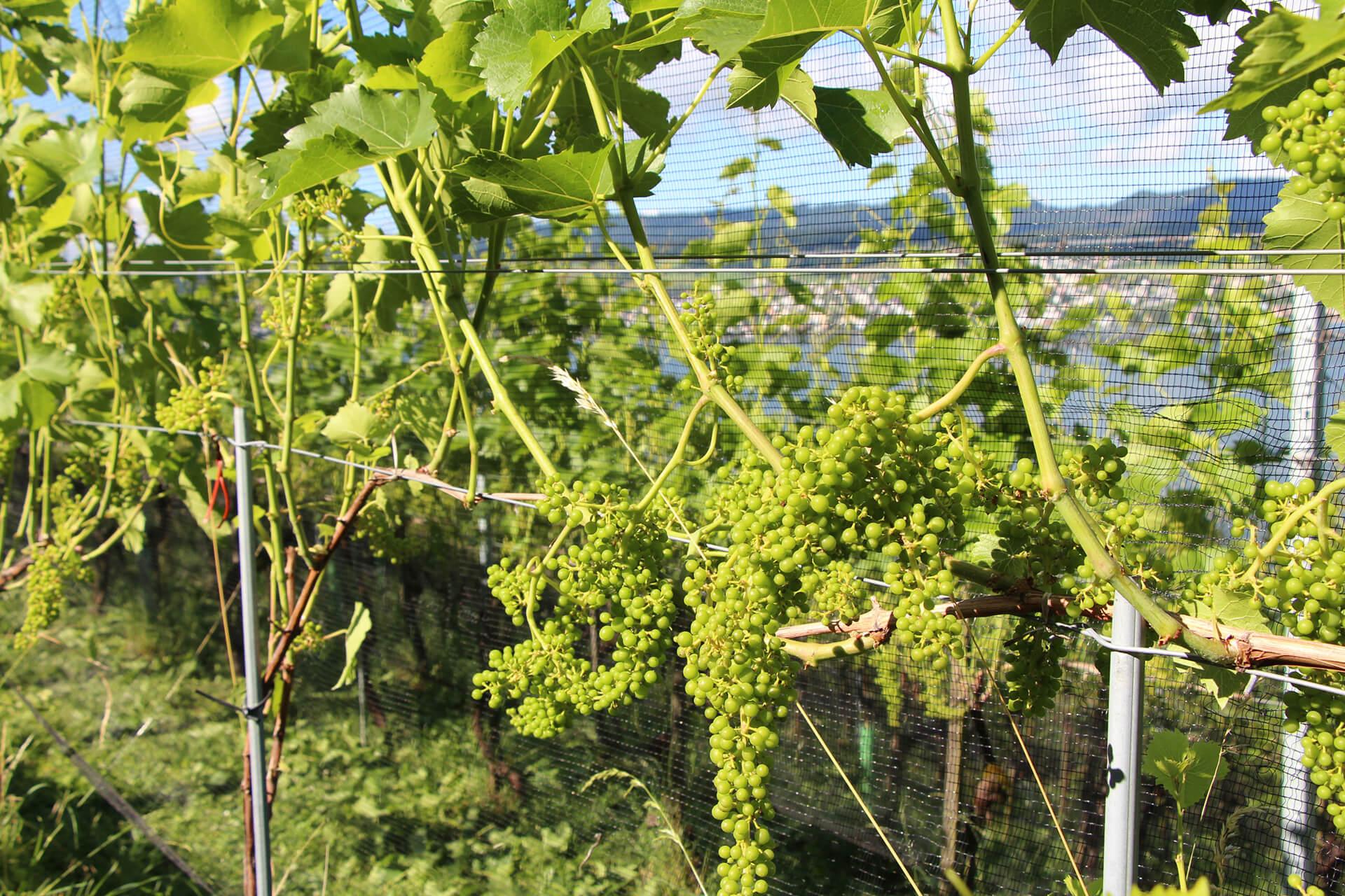 Grüne Trauben an den Piwi-Reben im Rebberg Mariahalden am Zürichsee.