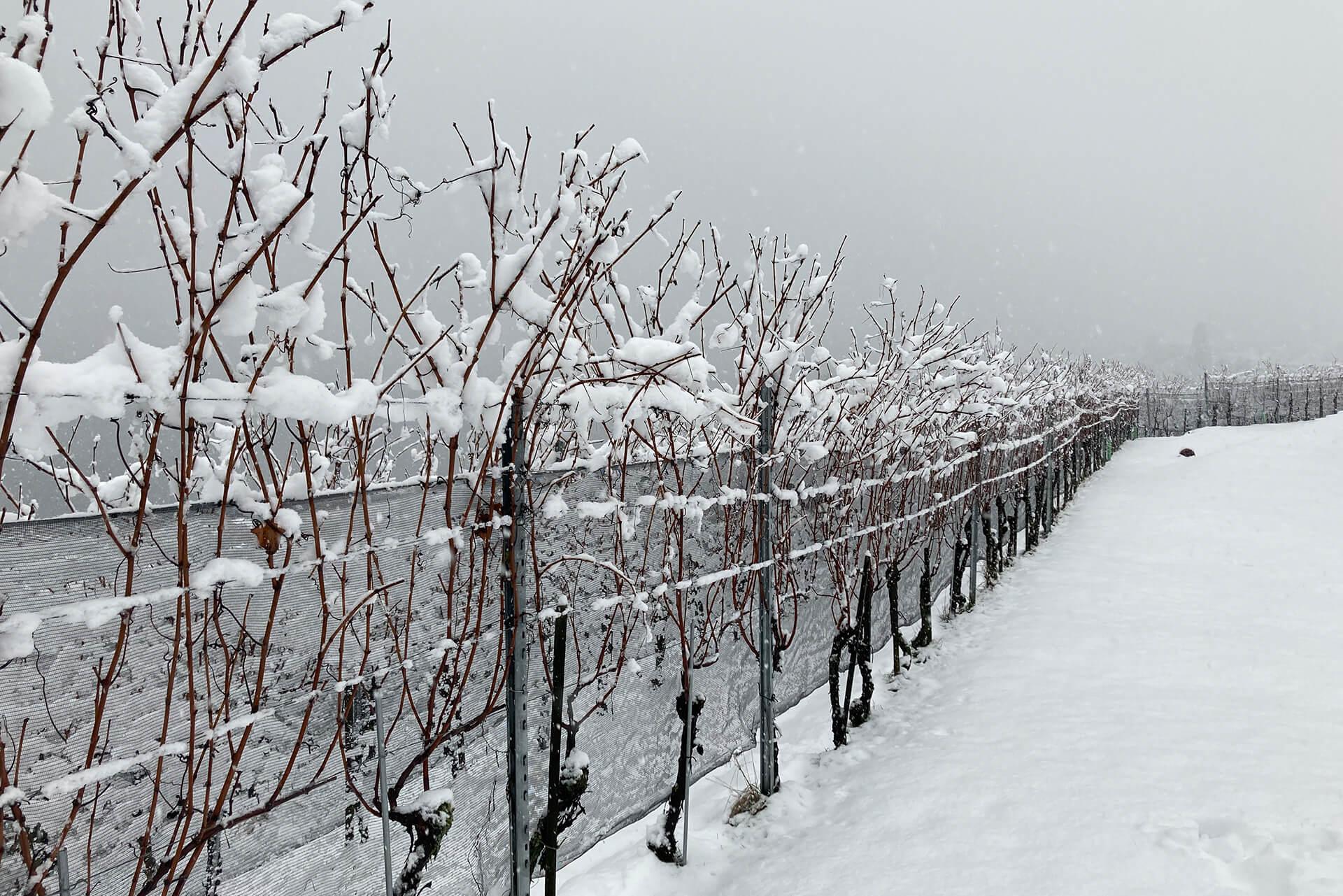 Rebberg Mariahalden im Winter im Schnee.